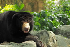 Big bear in hot weather Royalty Free Stock Images