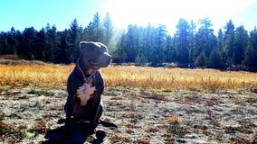 Big bear mountain pit bull dog Royalty Free Stock Images