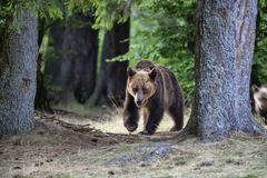 Big bear outcoming from the forest in Romania, Lake St Ana. Royalty Free Stock Photography