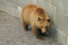 Big Bear que anda perto da parede Fotos de Stock