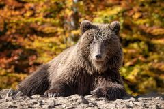 Bear Ursus arctos in autumn forest royalty free stock image