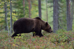 Big bear walking in forest. At fall Royalty Free Stock Image