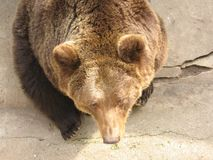 Big Bear in zoo. Big brown bear in Kaliningrad zoo. the view from the top stock photo
