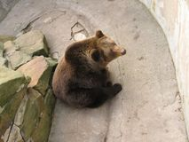 Big Bear in zoo. Big brown bear in Kaliningrad zoo. the view from the top stock image