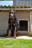 Big Beauceron dog in the booth Stock Image