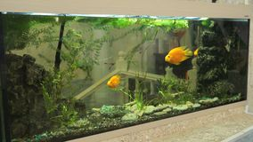 Big beautiful aquarium with small fishes indoors. Big beautiful green aquarium with small golden fishes indoors. Close-up stock video