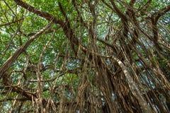 Big beautiful banyan tree Stock Photo