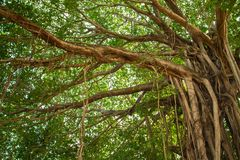 Big beautiful banyan tree Stock Image