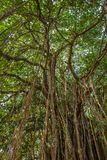 Big beautiful banyan tree Stock Photo