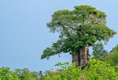 A big beautiful baobab tree in the early morning light Royalty Free Stock Photography