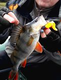 Big, beautiful bass with bait in the mouth in the hands of the angler. Large, beautiful perch with bait in the mouth in the hands of a fisher, close-up royalty free stock images