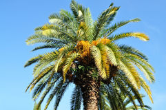 Big, beautiful, blooming palm tree with fruit Royalty Free Stock Photo