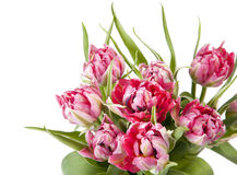 Big beautiful bouquet of red tulips Royalty Free Stock Images