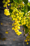 Big and beautiful branch of grapes Stock Image