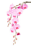 Big beautiful branch of pink orchid flowers with buds stock image