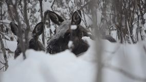 Big beautiful brown moose and calf resting in deep cold winter forest in the arctic circle wilderness