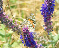 Big beautiful butterfly Royalty Free Stock Image