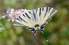 Big beautiful butterfly Stock Image
