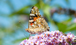 Big beautiful butterfly Royalty Free Stock Images