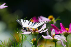 Big beautiful butterfly sits on pink flower Stock Image