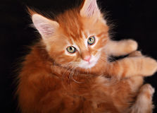Big beautiful cat eyes. Closeup. Red solid maine coon kitten wit Stock Photos