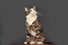 Big beautiful cat portrait Royalty Free Stock Image