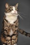Big beautiful cat portrait Stock Photography