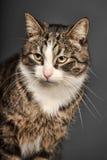 Big beautiful cat portrait Stock Images
