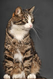 Big beautiful cat portrait Royalty Free Stock Photo