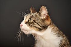 Big beautiful cat portrait Royalty Free Stock Images