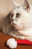 Big beautiful cat with Santa Claus xmas red hat Stock Photo