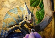 The big and beautiful chameleon is fed with a worm at the exhibition, Odessa, Ukraine, summer royalty free stock image