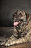 Big beautiful and clever dog Royalty Free Stock Photography