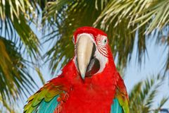 Big beautiful colorful macaws Royalty Free Stock Photography