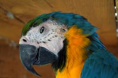 A big beautiful colorful parrot looks at you with his keen eye. A big colorful parrot with blue white yellow and green feathers and a big beak looks at you with Stock Photography