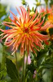 Big Beautiful Dahlia. Bright orange and yellow dahlia outside in a field royalty free stock photos