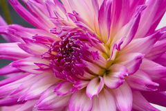 Big beautiful dahlia with pink-white petals. Close up Stock Photography