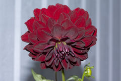 Big beautiful dahlia with red petals. Close up Royalty Free Stock Photo