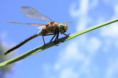 Big beautiful dragonfly Stock Photography