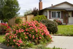 Big beautiful flowering bush near the American private house Stock Image