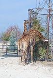 Big beautiful Giraffe Royalty Free Stock Photo