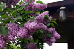 Big beautiful good branch of purple lilac flower with green leav Stock Image