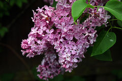 Big beautiful good bunch of purple lilac flower with green leave Royalty Free Stock Photos