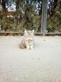 Big beautiful gray cat sitting on the street. stock image