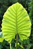 Big beautiful green leaf Royalty Free Stock Photography