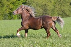Big beautiful horse running Royalty Free Stock Photography
