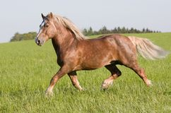 Big beautiful horse running Stock Photos