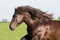 Big beautiful horse running Stock Image