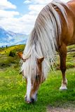 Big beautiful horse. Some beautiful wild horses with a mountain scenery in the background royalty free stock images