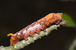 Big beautiful island worm on a stick. Royalty Free Stock Images